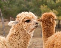Portrait of lama guanaco Royalty Free Stock Photography