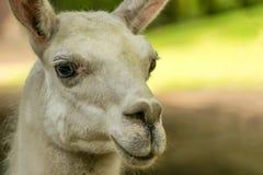 Portrait of Lama guanicoe Stock Photos