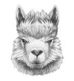Portrait of Lama. Stock Photos
