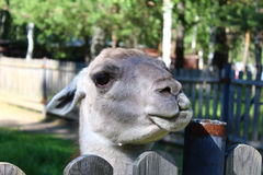 Portrait of Lama. Lama in the kennel for the animals, the city of Zelenogorsk Royalty Free Stock Photo