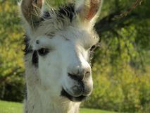 Portrait of a lama. A lama looking at you Stock Photography
