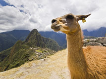 Portrait of lama in machu-picchu, peru Stock Photos