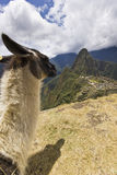 Portrait of lama in machu-picchu, peru Royalty Free Stock Photos