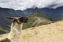 Portrait of lama in machu-picchu, peru Royalty Free Stock Photo