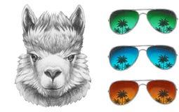 Portrait of Lama with mirror sunglasses. Stock Photos