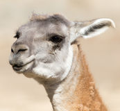 Portrait of a Lama  in nature Stock Images