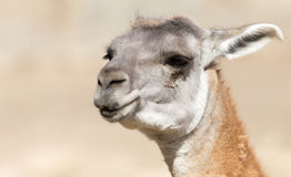 Portrait of a Lama  in nature Royalty Free Stock Photos