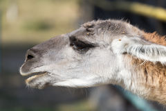 Portrait of a Lama  in nature. Portrait of a Lama in nature . A photo Royalty Free Stock Photos