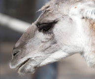 Portrait of a Lama  in nature. Portrait of a Lama in nature . A photo Stock Image