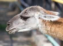 Portrait of a Lama  in nature. In the park in nature Royalty Free Stock Image