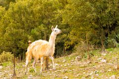 Portrait of a lama out in the nature Stock Image