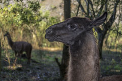 Portrait of a lama. Profile portrait of a brown lama in the forest Stock Image