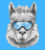 Portrait of Lama with ski goggles. Royalty Free Stock Photo