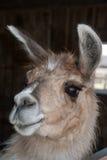 Portrait of Lama Royalty Free Stock Photography