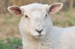 Portrait of a lamb Royalty Free Stock Photography
