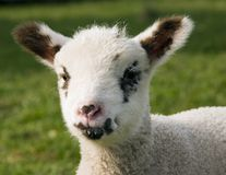 Portrait of a Lamb Royalty Free Stock Images
