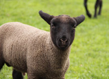 Portrait of lamb Stock Photography