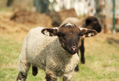 Portrait of a lamb Stock Photo