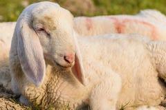 Portrait of lamb Royalty Free Stock Photo