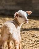 Portrait of lamb Stock Photos