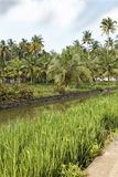 Portrait landscape of canal palms paddy fields Ke Royalty Free Stock Image