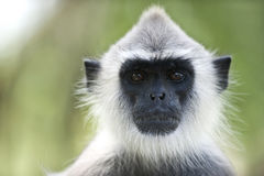 Portrait of a langur Stock Photography