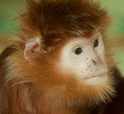 Portrait of a langur Stock Photo