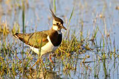 Portrait of a lapwing Stock Photo