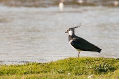 Adult lapwing by a lake. Portrait of lapwing standing in grass with a lake in the background stock images