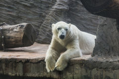 Portrait of large adult polar white bear. Zoo, wild animals and mammal concept. Portrait of large adult polar white bear Royalty Free Stock Image