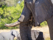 Portrait of large African elephant bull grazing on saavannah grass, safari in Moremi NP, Botswana Royalty Free Stock Photo