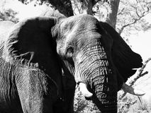Portrait of large african elephant Stock Images