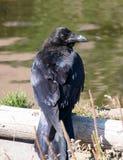 A large black raven Stock Photos