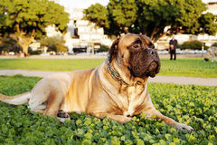 Bullmastiff Portrait in Urban Park. Portrait of a large brown Bullmastiff dog looking away while sitting on the grass of park in urban surroundings Royalty Free Stock Photo