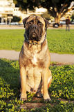Bullmastiff Portrait in Urban Park Stock Images