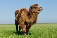 Portrait of a large camel eating grass on the meadow. Reservatio. N national park Askania Nova, Ukraine Stock Photos