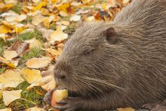 A portrait of large cute water rat muskrat. Keeps a piece of apple in its paws and eats. Autumn nature stock image