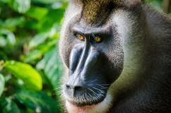 Portrait of large drill monkey alpha male in rain forest of Nigeria Stock Images