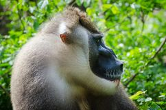 Portrait of large drill monkey alpha male in rain forest of Nigeria Stock Photos