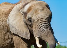 A portrait of a large elephant Royalty Free Stock Photography