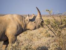 Portrait of large endangered black rhino feeding on small bush in Etosha National Park, Namibia, Africa. Portrait of large endangered black rhino feeding on Royalty Free Stock Photo