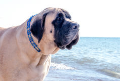Portrait of a large gentle Mastiff canine Stock Images