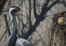 Portrait of  large gray heron with  white tuft. Close up portrait of  large gray heron with  white tuft Stock Images