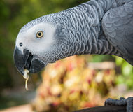 Portrait of a large gray parrot, Koh Samui, Thailand Royalty Free Stock Image