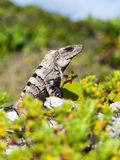 Portrait Of A Large Iguana Stock Image