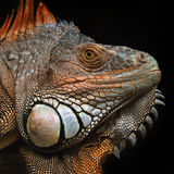 Portrait of a large lizard reptile iguana in profile, texture mesh rough skin, skin color green, orange, brown, orange ridge of sk Stock Images