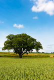 Portrait of large oak tree in corn field Stock Photography