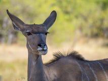 Portrait of large peaceful greater kudu antelope on safari in Moremi NP, Botswana Stock Image