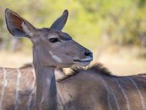 Portrait of large peaceful greater kudu antelope on safari in Moremi NP, Botswana Stock Photography