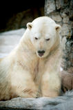 Portrait of large white bear on ice Royalty Free Stock Image